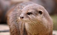 indian otter