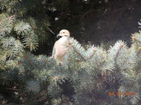 Dove in spruce tree