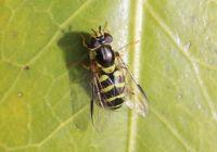 Stripe-backed Dasysyrphus - Dasysyrphus albostriatus