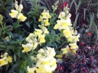 Yellow and white Snapdragons on an lovely autumn day.