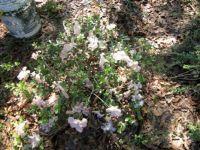 white/blush azaelea