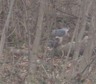 Peregrine falcon in Winchester, Va.
