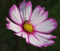 Bee on Osteospermum