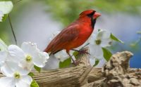Animals_Birds_Red_bird_033172_