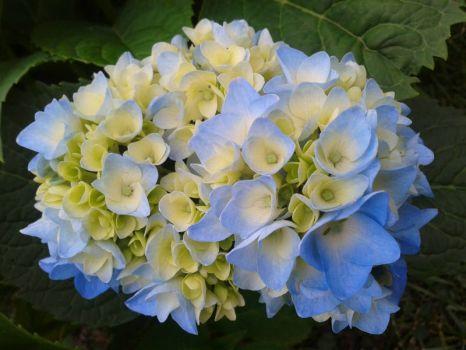 Hortenzie  -  Hydrangea