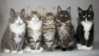 Main Coon Cat Kittens, I want them all