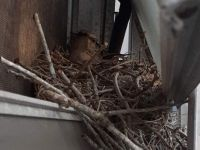 Mockingbird Nest 2