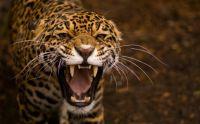 jaguar-hd-wallpaper