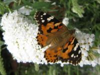 Painted Lady AKA Thistel Butterfly (Distervlinder) ....