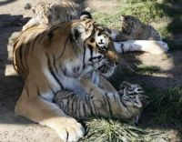 tiger and three cubs... 2nd pic