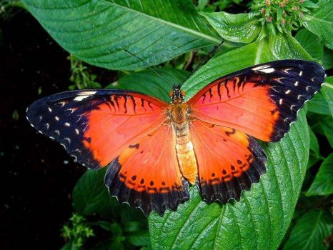 Red Lacewing Btterfly