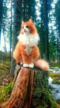 majestic Norwegian forest cat