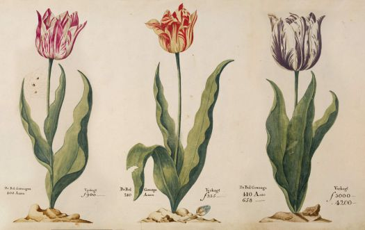 Tulips from the tulip book of P. Cos, 1637