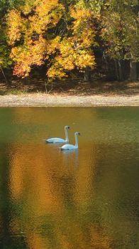 Swans at Mirror Lake