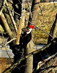 Breakfast for a Pileated - #2