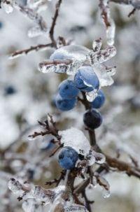 Blauwe bessen in ijs.