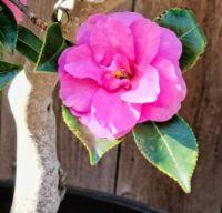 Sasanqua Blossom on Wood