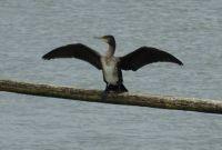 Kormoran / cormorant