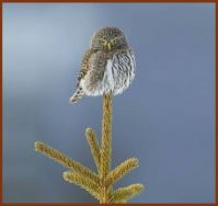 THEME  ~  Birds ....... Northern Pygmy Owl  ... (I love this pic)