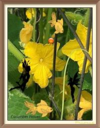 Cucumber Flower and Faries