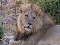 Leeuw in Botswana
