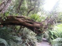 Tasmanian rainforest, Pyenganna
