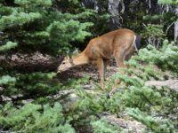Deer on Hurricane Ridge