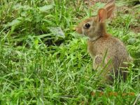Peter Cottontail?