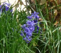 hyacinths 2018