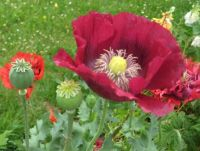 Poppies in the park