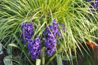 Hyacinths and Grass