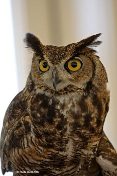 Great Horned Owl at Audubon Camp
