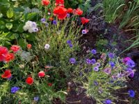 Bachelor Buttons & Poppies