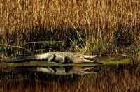 Alligator - Donnelley Wildlife Management - S. Carolina