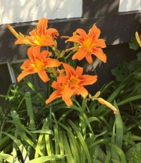 Orange Day Lilies and buds