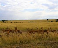A Herd of Impala Deer