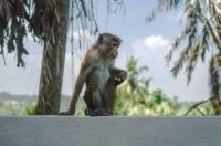 Funny-wild-monkey-in-the-nature-of-Asia.-Types-of-Sri-Lanka.-Tourist-routes-of-tropical-fauna.-Stock-photo-1-760x506