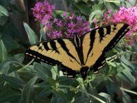 Papilio rutulus (Western Tiger Swallowtail)