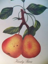 Hardy Pears, 63 pieces