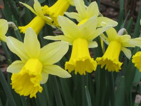 daffs to chase the winter blues
