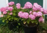 Mum's Hydrangeas