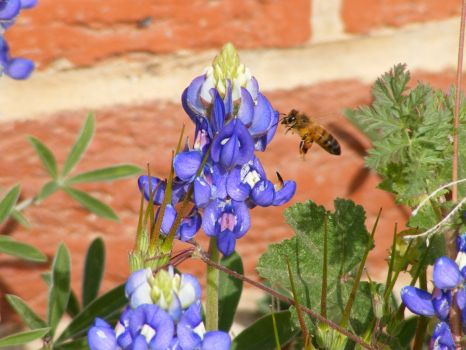 A Bee in Your Bluebonnet
