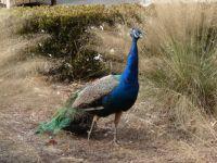 prize peacock