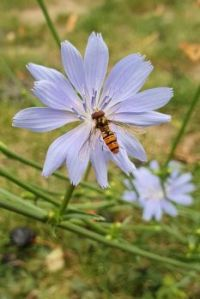 Chickory and Hoverfly