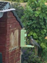Pidgeon on my bird feeder.