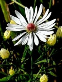 A single frost aster