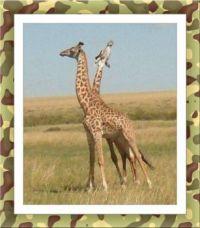 Žirafí pár...  Giraffe couple ...