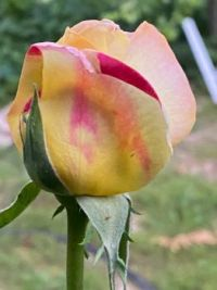 My loved Peace rose budding