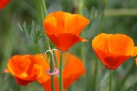 Oregon Poppies