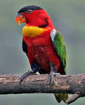 Yellow-bibbed-Lorikeet